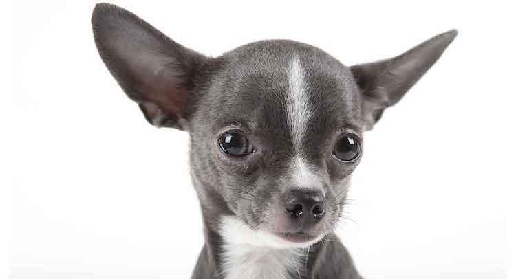 Bảng giá chó Chihuahua chi tiết mới nhất hiện nay - Hello Thú Cưng
